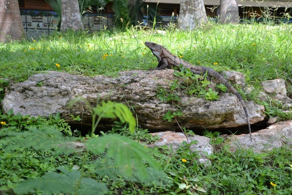 iguana-messico